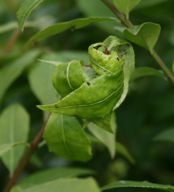 Pests_aphids_damage