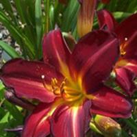 Hemerocallis Anzac Daylily