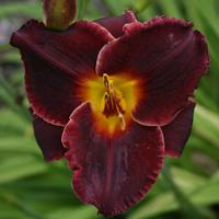 Hemerocallis Salieri Daylily