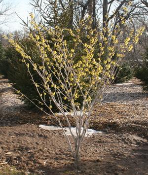 Hamamelis x intermedia Westerstede shrub