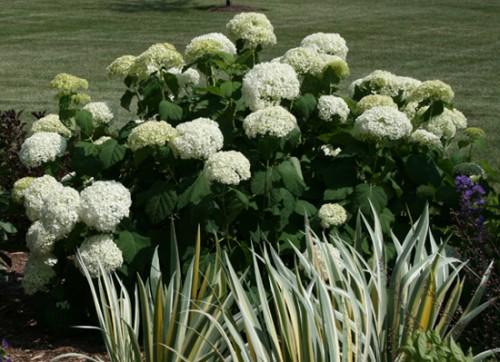 Hydrangea arborescens 'Annabelle' July