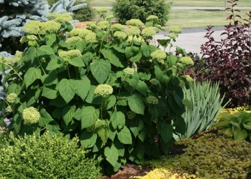Hydrangea arborescens 'Annabelle' June