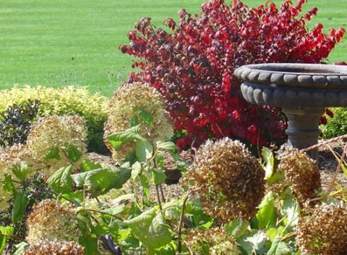 Hydrangea arborescens 'Annabelle' in fall