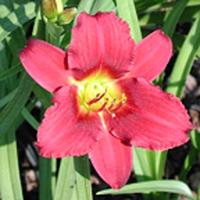 Hemerocallis Ruby Stella Daylily