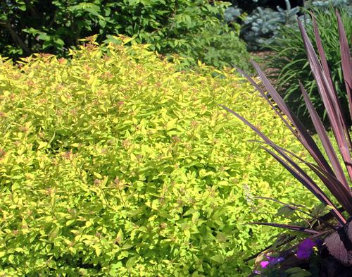 Spirea Goldmound foliage
