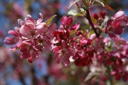 Malus Indian Magin blooms