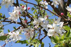 Malus Sugar Tyme Blooms