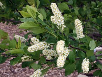 Prunus virginiana Choke Cherry bloom
