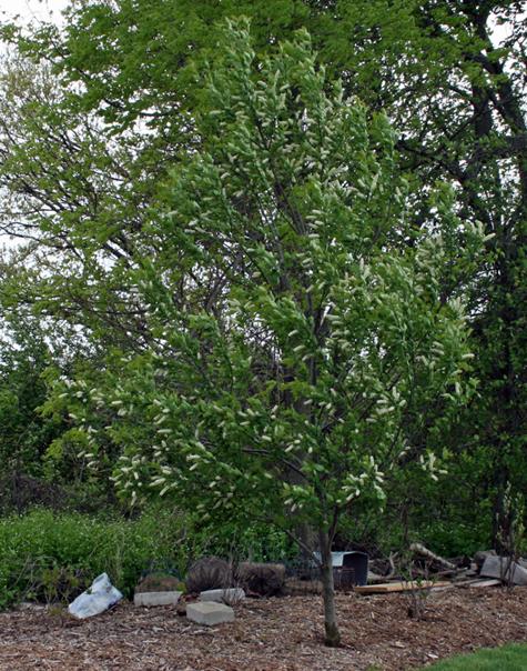Prunus virginiana Choke Cherry
