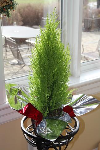 Cupressus macrocarpa Wilma Goldcrest Monterey Cypress