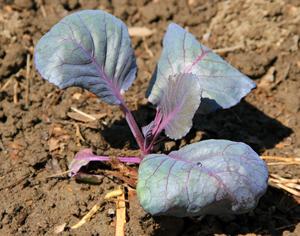 Cabbage start