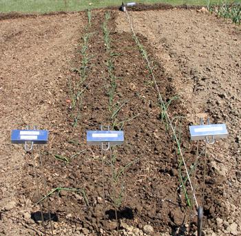 Onion starts planted