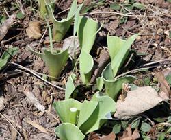 Rabbit damage tulip leaves