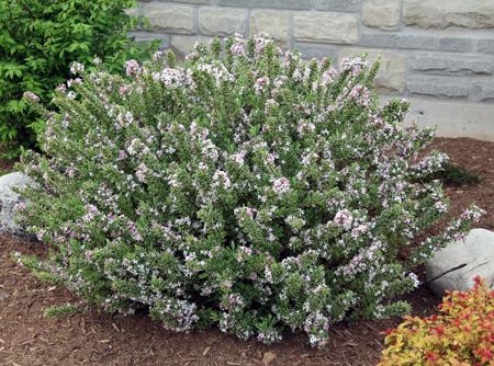 Carol Mackie Daphne Sudden Death My Everchanging Garden