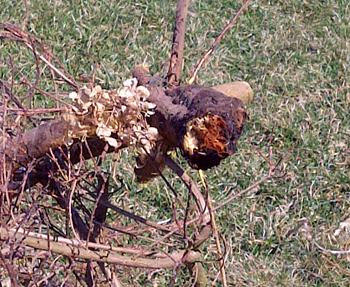 Carol Mackie root rot