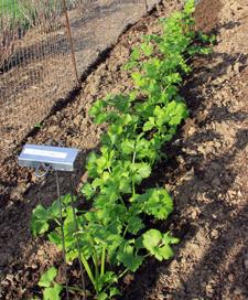 celery starts in the garden