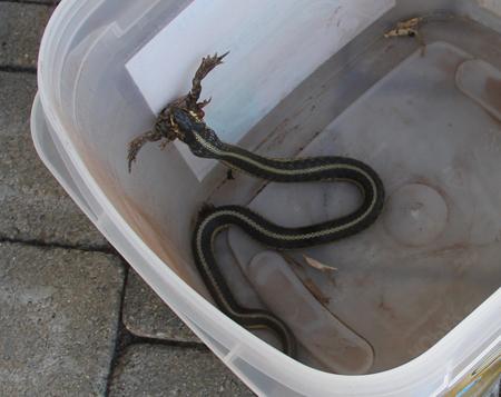 Garter snake eating frog