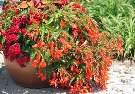 Bonfire Begonia Scarlet